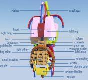 anatomini5